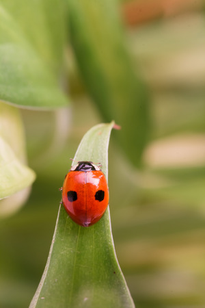 coccinellidae: Ladybug Coccinellidae  with two dots sitting on a leaf
