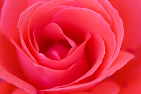 rosas rojas: Close-up of a beautiful pink rose filling up the whole frame