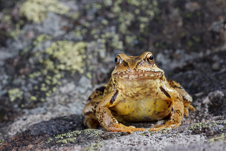 the frog: Rana común Rana temporaria sentado en una piedra Foto de archivo