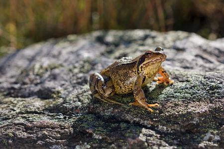 rana: Rana común Rana temporaria sentado en una piedra Foto de archivo