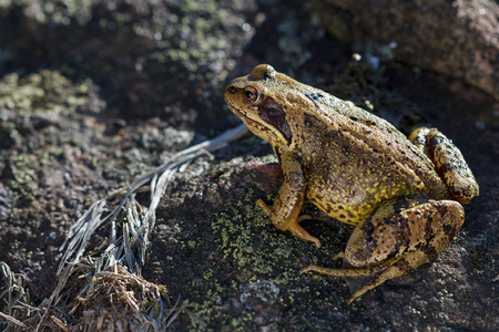 frog jump: Common Frog Rana temporaria sitting on a stone