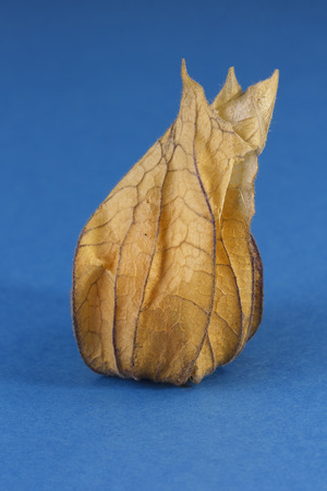 One ripe Physalis fruit enclosed in its calyx against a blue background
