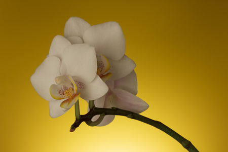 White orchid flower against a yellow backlit background