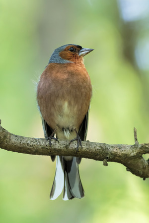 Common chaffinch (Fringilla coelebs) sitting on a branch with a green background Standard-Bild