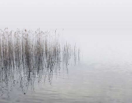Canes growing from the water at the lake shore on a misty day