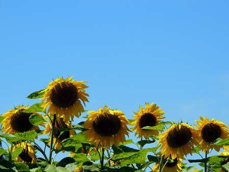 Sunflowers. Reklamní fotografie