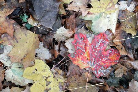 Red leaf among brown leaves.