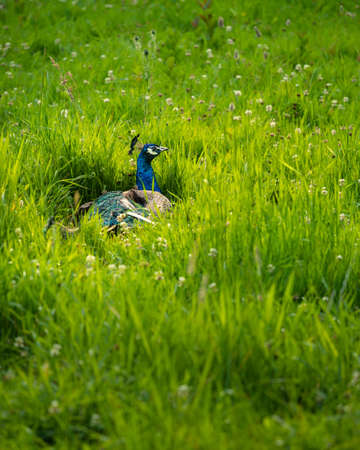 The peacock is a peafowl species native to the Indian subcontinent. The male peacock is brightly colored. The peacock was already held in Europe during the middle ages and their feathers decorated the helmets of knights.