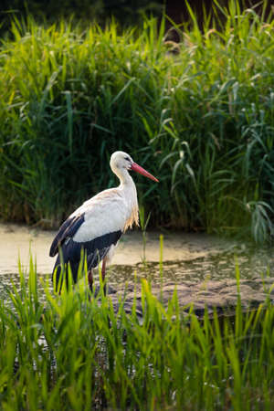 A white stork standing in its natural habitat. Calm scenery, even though the stork might be hunting. Small children are often told that newborn babies are brought by the stork.