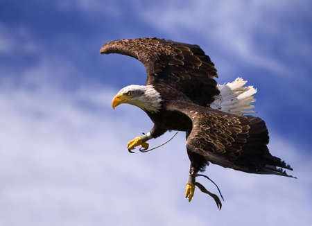 white tailed eagle: King of the Sky