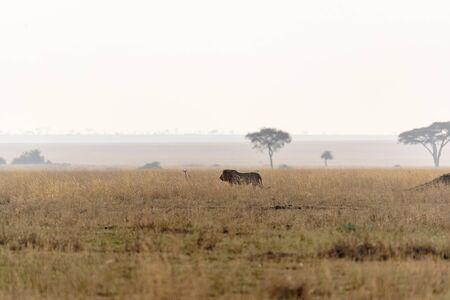 Lion (Panthera leo) crossing the wide gras savanna of the Serengeti, Serengeti National Park, Safari, East Africa, August 2017, Northern Tanzania