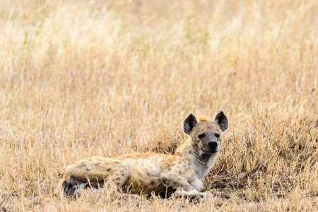 Spotted hyena (Crocuta crocuta) lying in the savanna, Serengeti National Park, Safari, East Africa, August 2017, Northern Tanzania Stock Photo