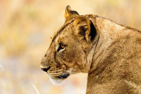 Head of a Lioness, Panthera leo, in the Tarangire National Park, Safari, East Africa, August 2017, Northern Tanzania