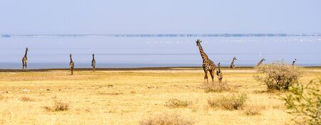 A herd of Masai giraffes, Giraffa tippelskirchi, along the lakeside, Safari, Lake Manyara national park, East Africa, August 2017, Northern Tanzania