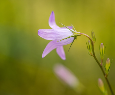 meadow bellflower, beauty in purple with a blurry background