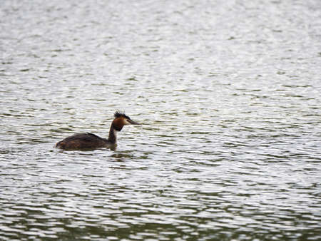 crested duck: a great crested grebe swimming on a lake on a cloudy day