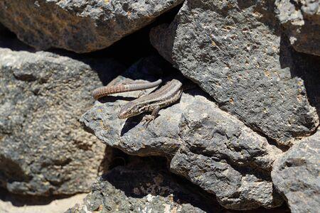 Gallotia caesaris, Small canarian lizard bask on rocks