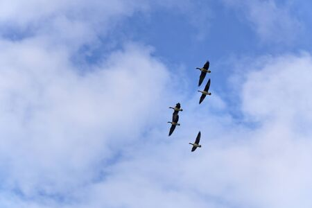 Five wild geese in flight on a sunny winter day with blue sky and white clouds Фото со стока