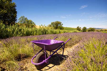 Wheelbarrow in a lavender field Tuscany Italy 免版税图像