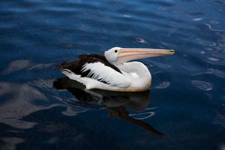 Australian Pelican in Forster, Australia Reklamní fotografie
