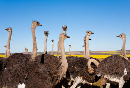 Group of ostriches along with yellow rapeseed fields in background, South Africa