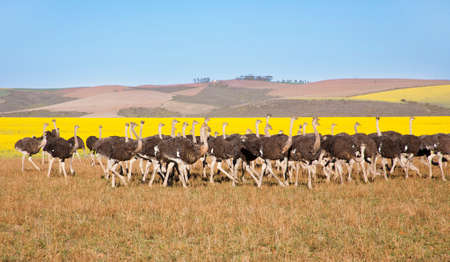 Flock of ostriches along the Garden Route with yellow rapeseed fields in background, South Africa Stock Photo