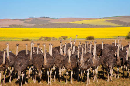 Flock of ostriches with yellow rapeseed fields in background, Overberg, South Africa