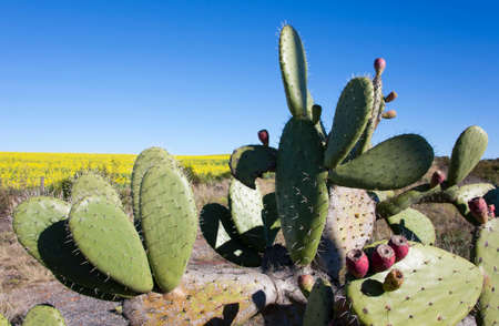 Prickly Pear cactus showing fruit, Garden Route, South Africa