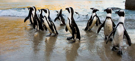 Cape Town - African Penguin flock at sunrise on Boulders Beach