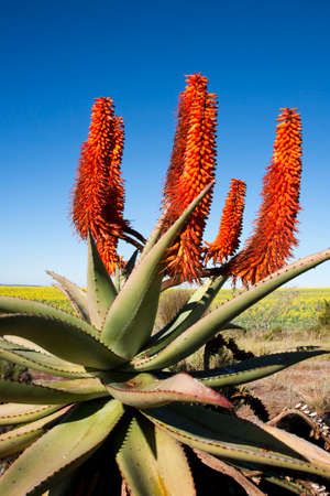 Close-up of Aloe Ferox plant with background of rapeseed, Garden Route, South Africa. Aloe Ferox is used in many medicines and skin care products.