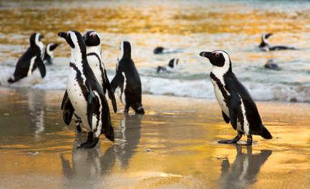 Pingüinos africanos al amanecer. Playa Boulders, Ciudad del Cabo, Sudáfrica Foto de archivo