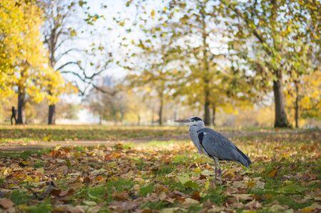 Heron in Hyde Park in Autumn London - UK