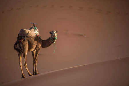 africa kiss: Camel on the Dunes of the Sahara Desert at sunset in Merzouga - Morocco - Africa