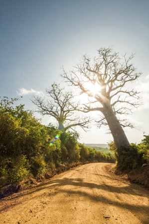 africa baobab tree: Baobab tree on a dirt road in Africa at sunset Stock Photo