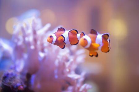Finding Nemo, Amphiprion Ocellaris Clownfish In Marine Aquarium