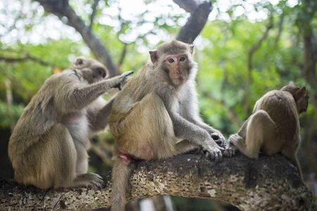A family composed of three monkeys, are on a branch of a tree and they clean each other.
