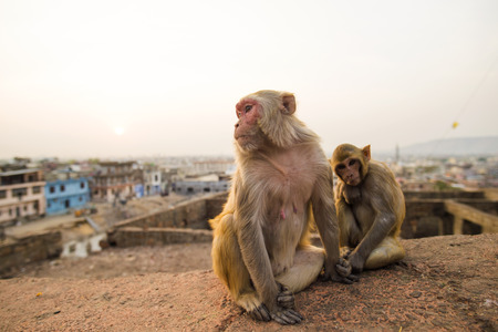 Portrait of two young macaque monkeys sitting on a wall during the sunset. Jaipur city in the background, Galta Ji Jaipur Monkey Temple . Jaipur, India.