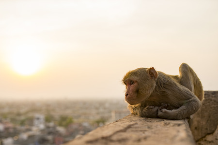 Portrait of a young macaque monkey sitting on a wall enjoying the sunset. Jaipur city in the background. Jaipur, India.