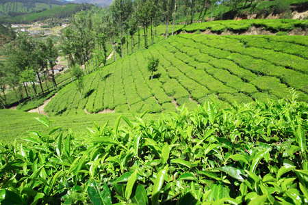 Beautiful expanse of green tea plantations at sunset, grown in terraces on the hills of Darjeeling. India. Stock Photo