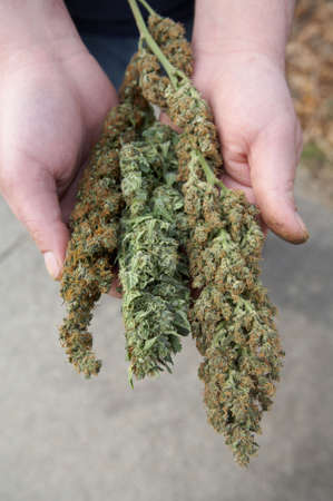 Mans hands holding fresh grown marijuana buds photo