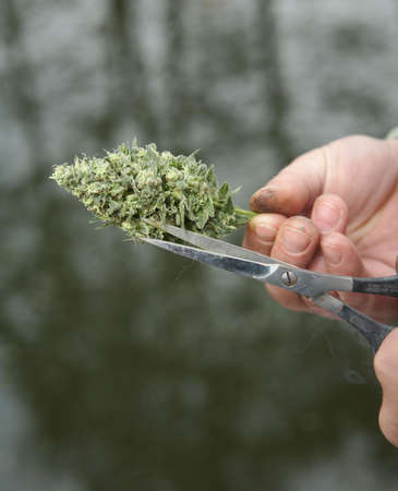 marijuana plant: Mans hands trimming marijuana bud with scissors Stock Photo