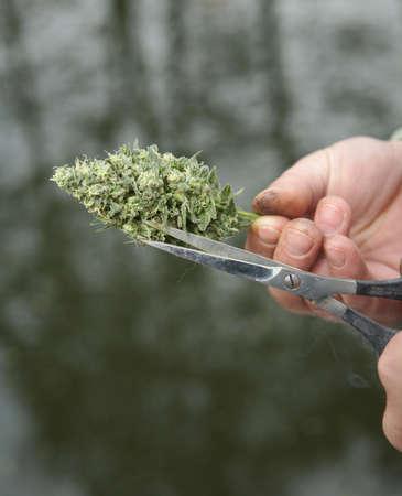 trimming: Mans hands trimming marijuana bud with scissors Stock Photo