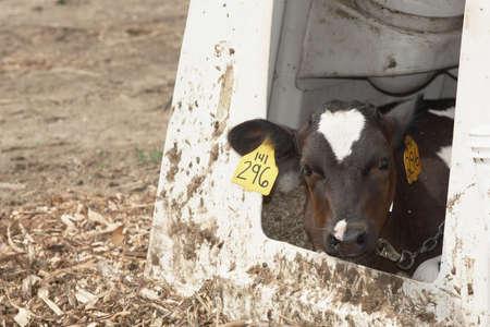 rancheros: Blanco y negro de vacas holstein en granja lechera Foto de archivo