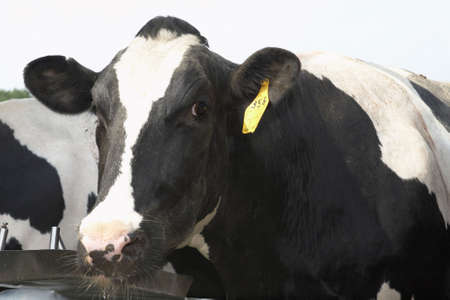 ranchers: Black and white holstein cow at dairy farm Stock Photo