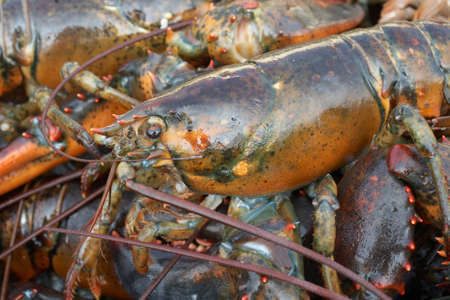 Closeup of fresh lobsters at seafood market