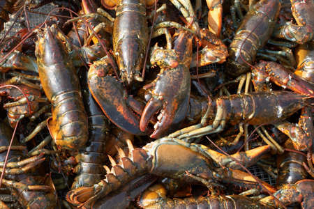 Background of live lobsters at seafood market photo