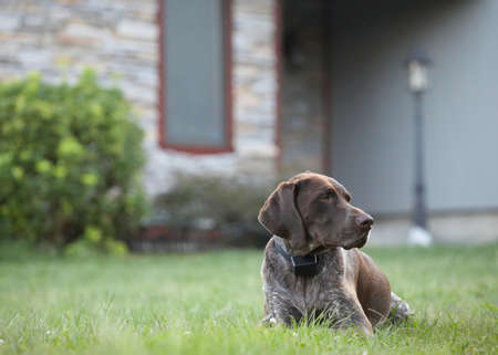 German shorthaired pointer dog sitting in front of house Stock Photo