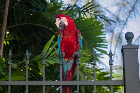 Macaw with red, blue and yellow feathers, perched on metal fence.