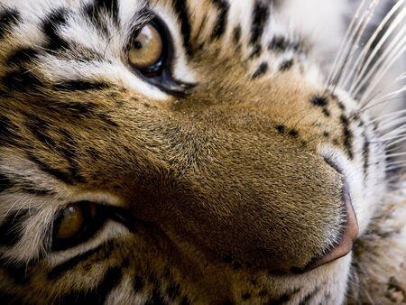 Tiger face lying down looking at the camera