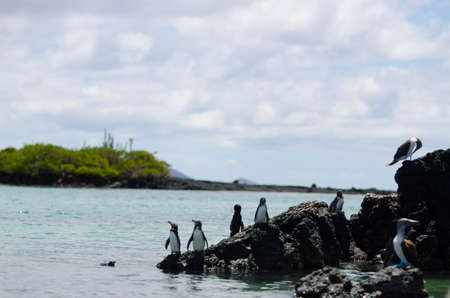 boobie: Galapagos Penguins and Blue-footed Boobie